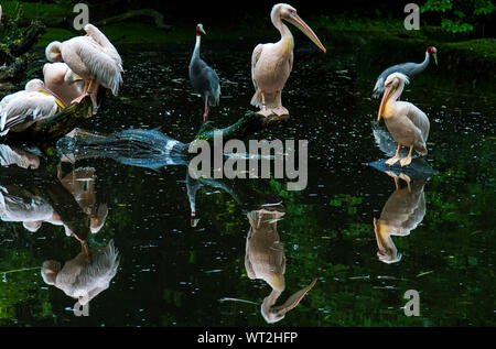 Sarus Cranes With Pink-backed Pelicans In Calm Lake At Forest - Stock Photo