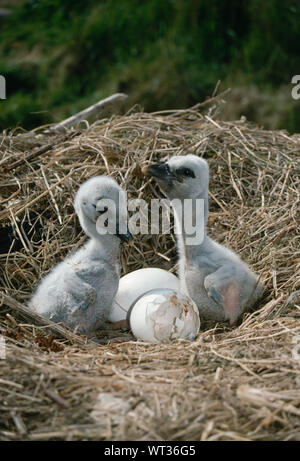 WHITE STORK (Ciconia ciconia). CHICKS. Greeting another by bill clapping from a very early age, in the nest. - Stock Photo