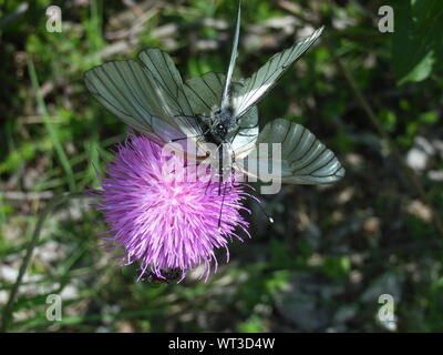 Close-up Of Butterflies Mating On Thistle - Stock Photo