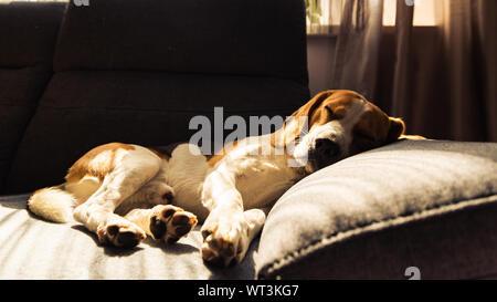 Dog lying, sleeping on the dark sofa. Canine background - Stock Photo