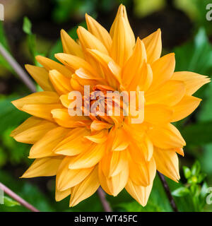 A macro shot of an orange dahlia noordwijks glorie bloom. - Stock Photo