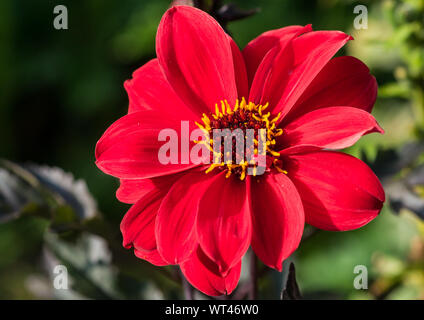 A macro shot of a red dahlia called bishop of llandaff. - Stock Photo