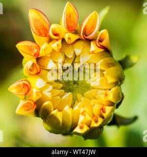 A macro shot of a dahlia lake ontario flower bud opening. - Stock Photo
