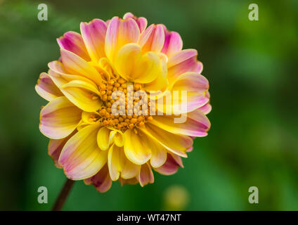 A macro shot of a yellow and pink coloured dahlia. - Stock Photo