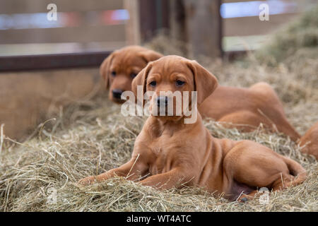 Fox red labrador pups, around 8 weeks old, in farm shed. Cumbria, UK. - Stock Photo