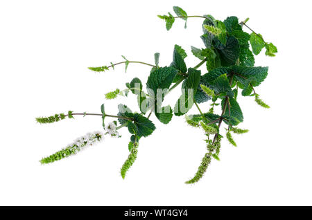 Peppermint. Mint grass with flowers close up. Studio Photo - Stock Photo