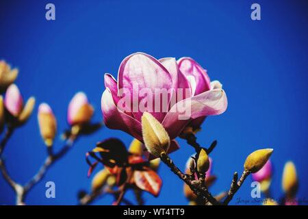 Low Angle View Of Magnolia Blooming On Tree Against Clear Blue Sky - Stock Photo