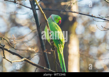 Rose-ringed or ring-necked parakeet Psittacula krameri invasive and exotic bird, perched in a forest during Winter season - Stock Photo