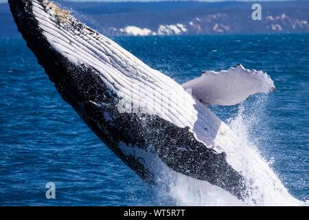 Humpback whale breaching, Hervey Bay, Queensland
