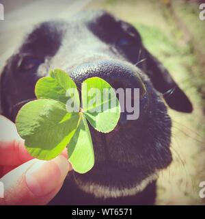 Cropped Hand Holding Four Leaf Clover Against Black Labrador - Stock Photo