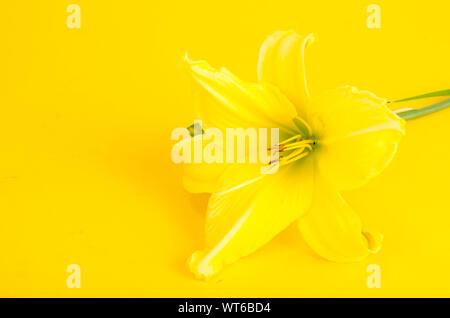 One yellow daylily flower. Studio Photo - Stock Photo