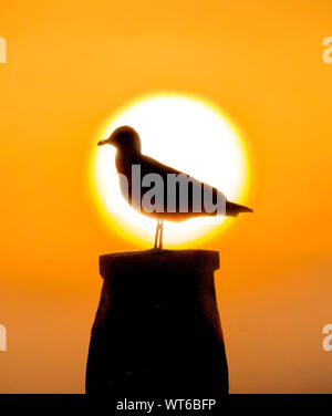Silhouetted Gull at Sunset - Stock Photo
