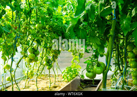 Tomato bushes with green fruits in greenhouse. Studio Photo - Stock Photo