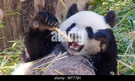 Panda Eating Bamboo Shoot In Madrid Zoo - Stock Photo
