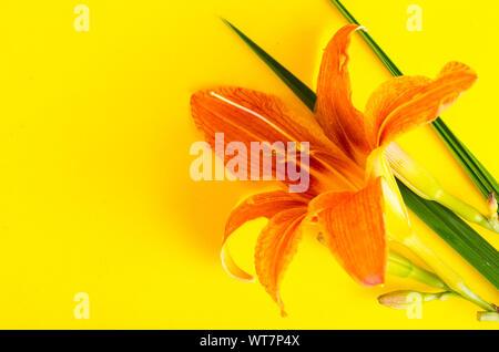 One flower pink garden daylily. Studio Photo - Stock Photo