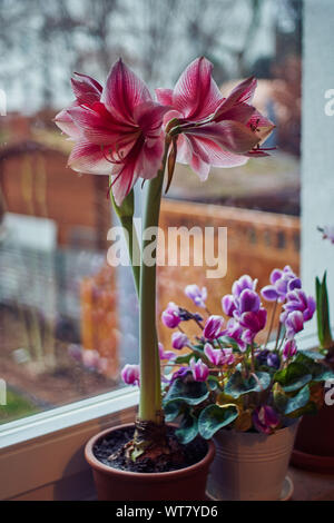 Hippeastrum on the window decorated for Christmas Advent - Stock Photo