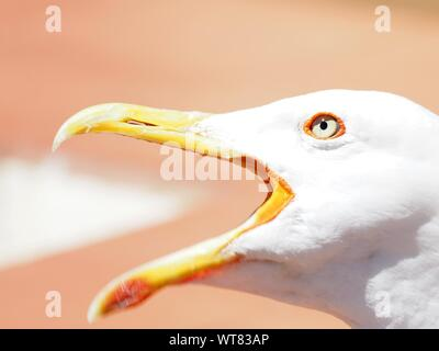 Close-up Of Seagull Squawking Outdoors - Stock Photo