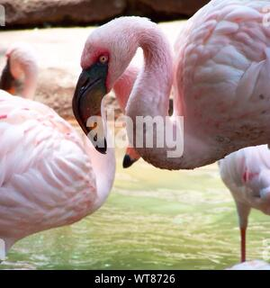 Lesser Flamingos In River - Stock Photo