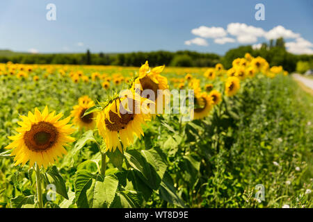 Bright and yellow sunflowers grow in abundance in the south of France, Provence, Valensole. Local farmers grow them in abundance along side lavender.
