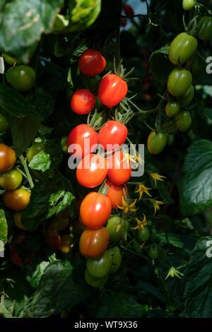 Solanum lycopersicum-Baby plum tomatoes ripening on the plant, early september, Surrey, UK - Stock Photo