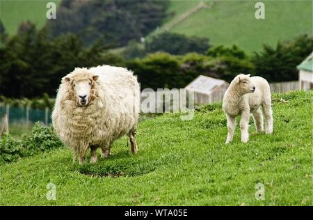 Portrait Of Sheep By Lamb On Grassy Field - Stock Photo