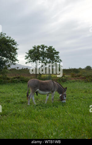 Donkey on a grass field - Stock Photo