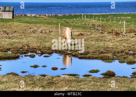 Icelandic Horse Grazing On Field - Stock Photo
