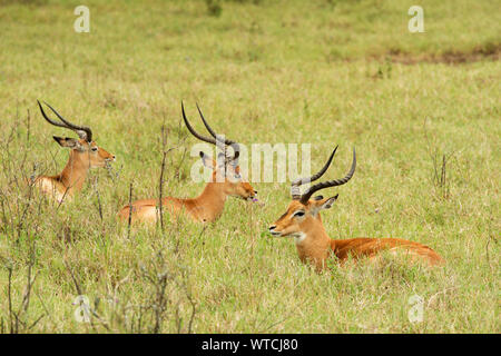 Impala, Aepyceros melampus, Bovidae, Nakuru Lake National Park, Kenya, Africa - Stock Photo