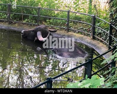 Adult and strong buffalo. Powerful and big animal. - Stock Photo