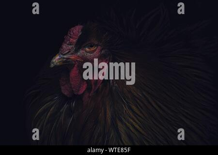 Close-up Of Rooster Against Black Background - Stock Photo