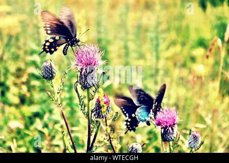 Close-up Of Butterflies On Thistles - Stock Photo