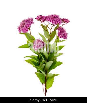 Spiraea japonica with pink inflorescences. Studio Photo - Stock Photo