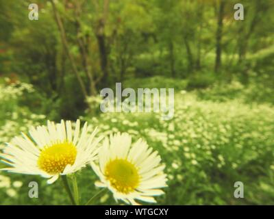 Close-up Of Daisies Blooming In Forest - Stock Photo