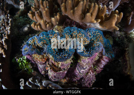 A beautiful giant clam, Tridacna maxima, grows on a coral reef in Raja Ampat, Indonesia. - Stock Photo