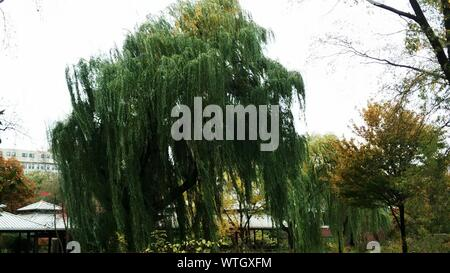 Low Angle View Of Weeping Willow Tree In Park Against Sky - Stock Photo