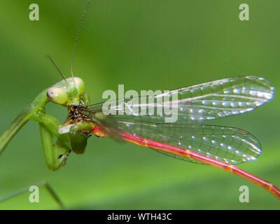 Close-up Of Praying Mantis Feeding On Dragonfly - Stock Photo