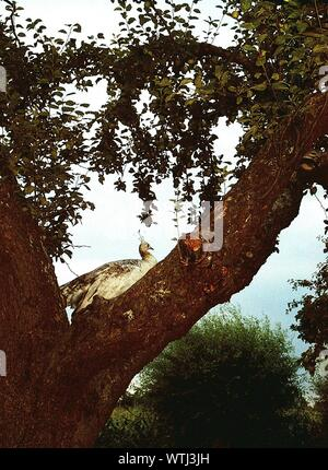 White Peacock Relaxing On Tree - Stock Photo