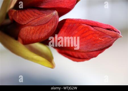 Close-up Of Red Amaryllis - Stock Photo