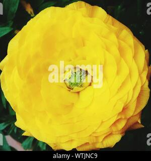 Close-up Of Yellow Ranunculus Blooming In Park - Stock Photo