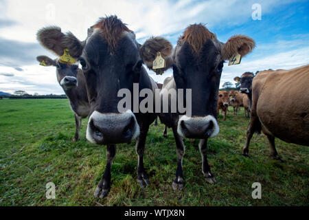 Picture by Tim Cuff - 13 June 2019 - Dairy Farmer magazine: Golden Bay family Wayne and Tyler Langford, Takaka - Stock Photo