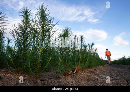 Picture by Tim Cuff - 20 February 2019 - Pine tree seedlings growing arborgen's nursery, Spring Grove, Nelson, New Zealand - Stock Photo
