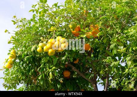 Low Angle View Of Fresh Oranges On Tree In Orchard - Stock Photo