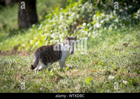 Cat With Dead Mouse In Mouth - Stock Photo
