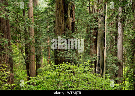 CA03531-00...CALIFORNIA - Redwood forest from Cal Barrel Road in Prairie Creek Redwoods State Park, part of the Redwoods National and State Parks.