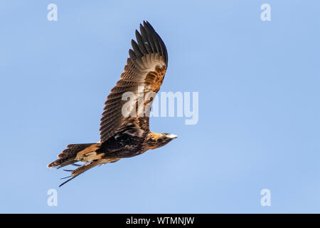 Wedge-tailed Eagle, Woodlands Historic Park, Greenvale, Victoria - Stock Photo