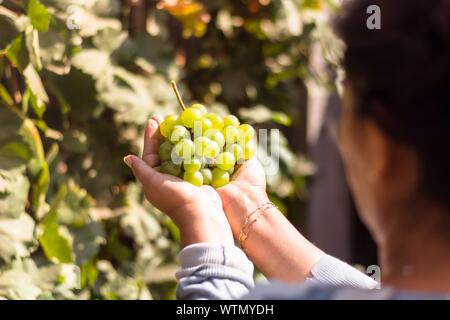 Cropped Image Of Woman Holding Grapes At Vineyard - Stock Photo