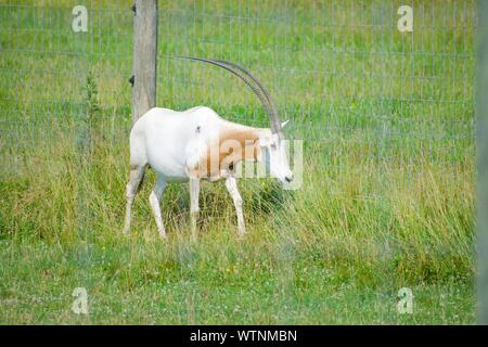 Scimitar- Horned Oryx in grassy field. Oryx dammah is originally from North Africa, but has been extinct in the wild since the 1980s. Tall grass, fenc - Stock Photo