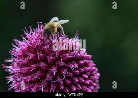 Close-up Of Bee Pollinating On Allium Flowers - Stock Photo