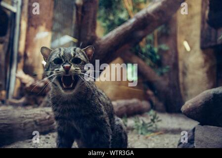 Undomesticated Cat Snarling - Stock Photo