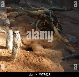 High Angle View Of Meerkats On Field In Zoo - Stock Photo